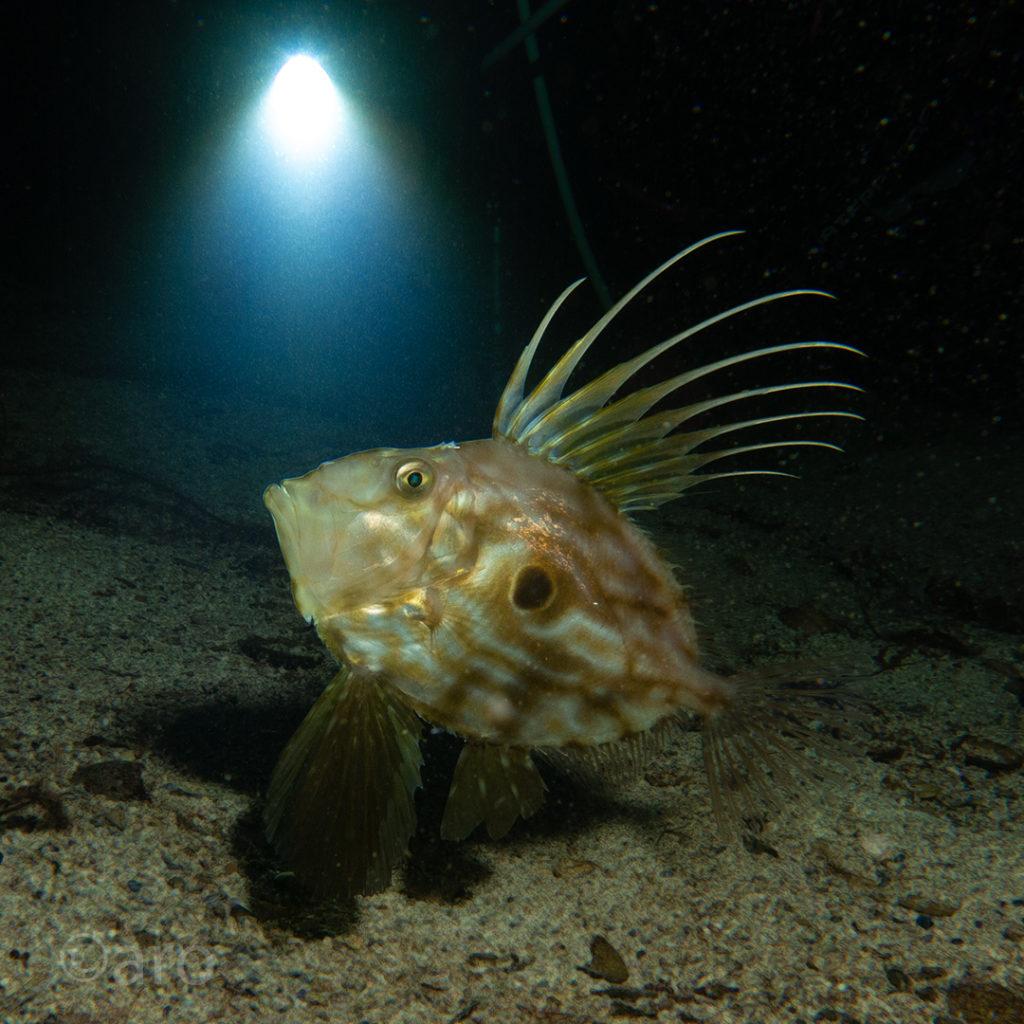 Sanktpetersfisk.
