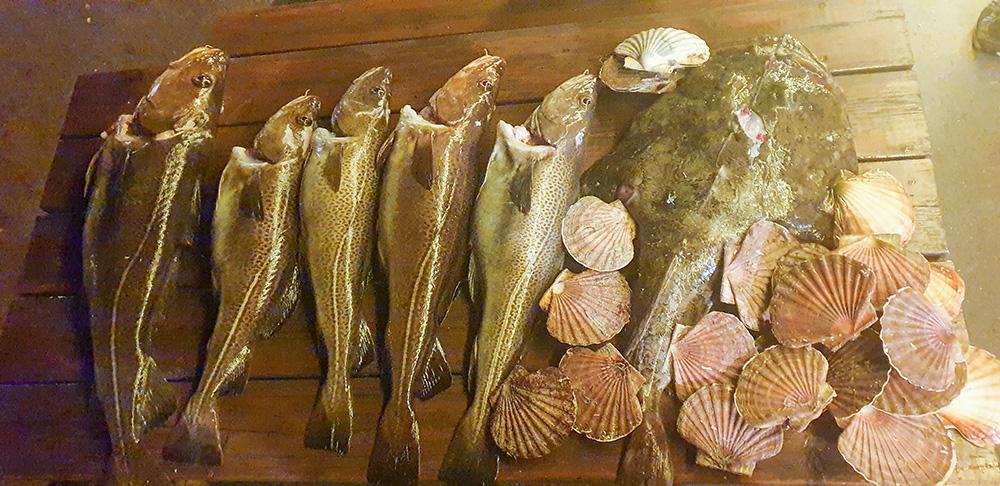 Seks torsk, en breiflabb og mange kamskkjell.